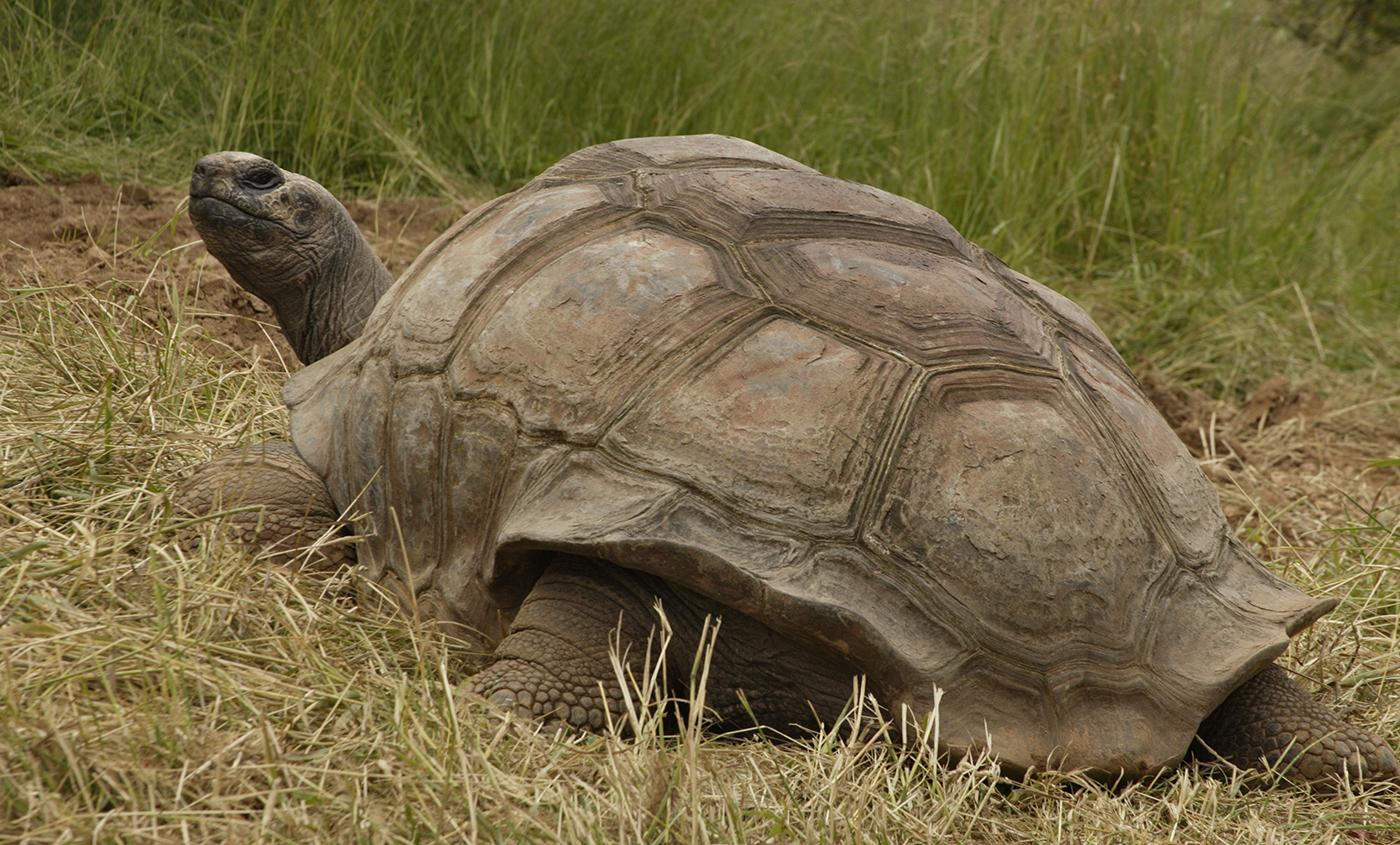 aldabra tortoise in the grass