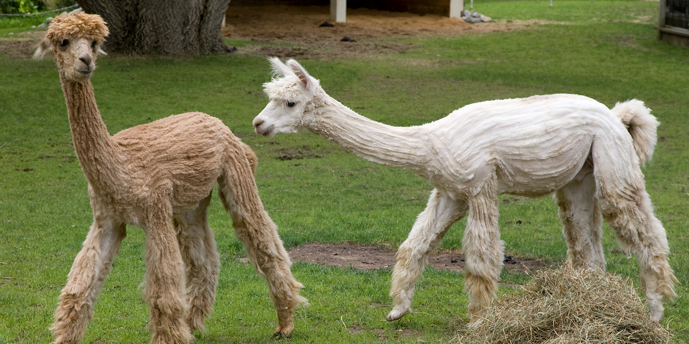 Two beige and white alpacas with sheered fur walking in the grass