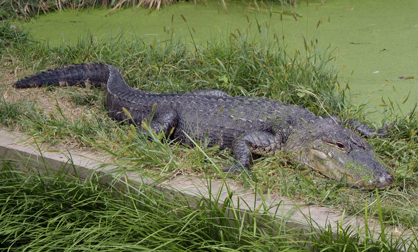 alligators the american alligators and the The american alligator was once thought to be an annoying pest they showed up in people's pools and golf courses and ate game fish that people liked to catch.