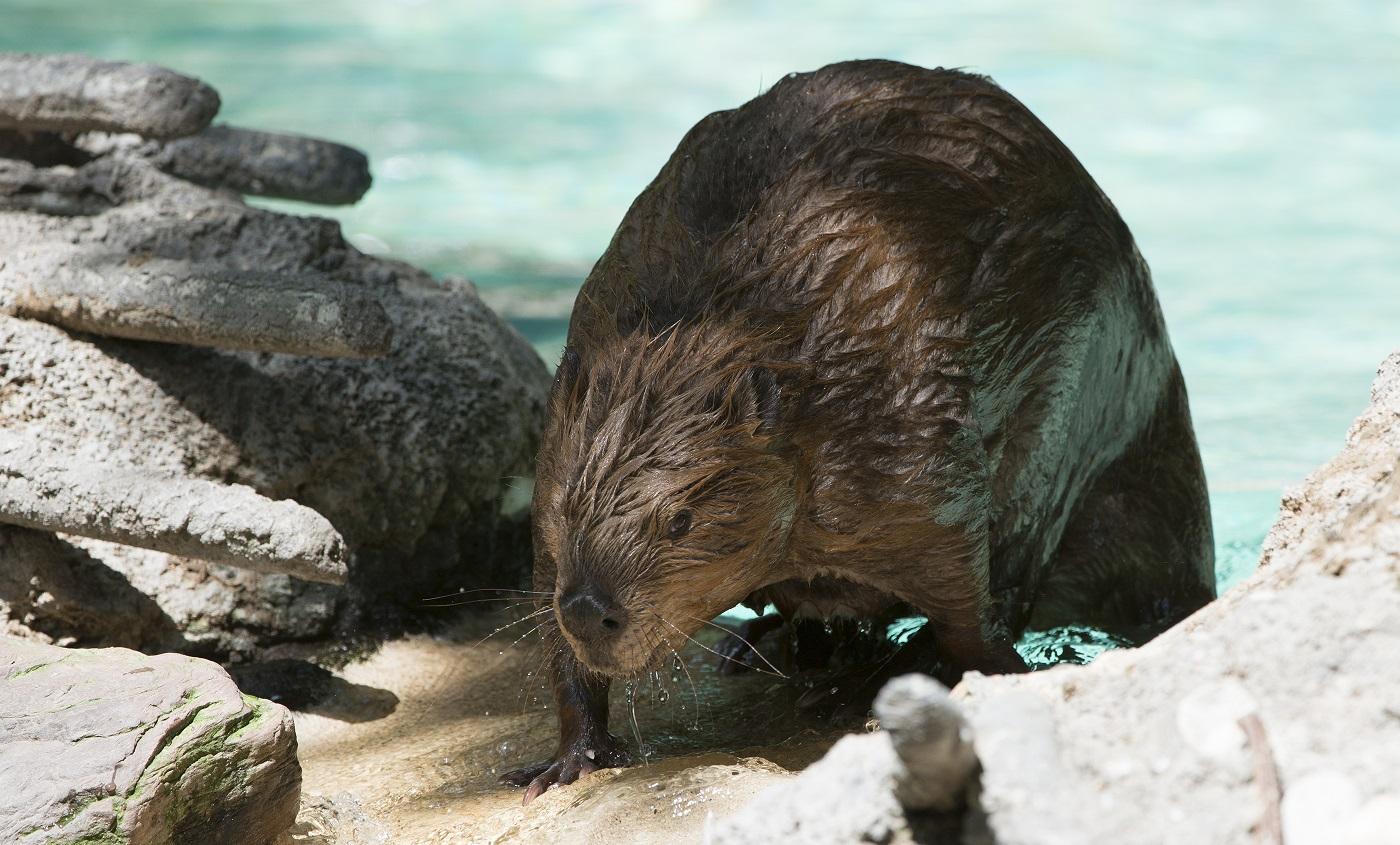 american beaver smithsonian u0027s national zoo