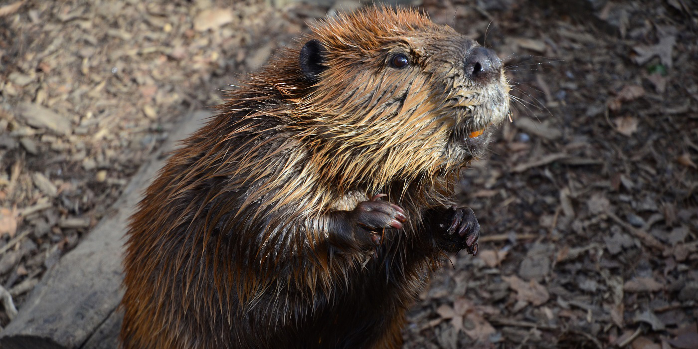 Beaver Smithsonians National Zoo How To Build Nocturnal Animals Whisker