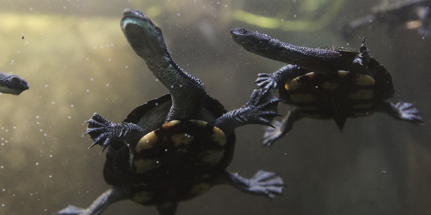 Two Australian snake-necked turtles that are dark gray with light spots on their undersides and around the edge of their shells swims in the water