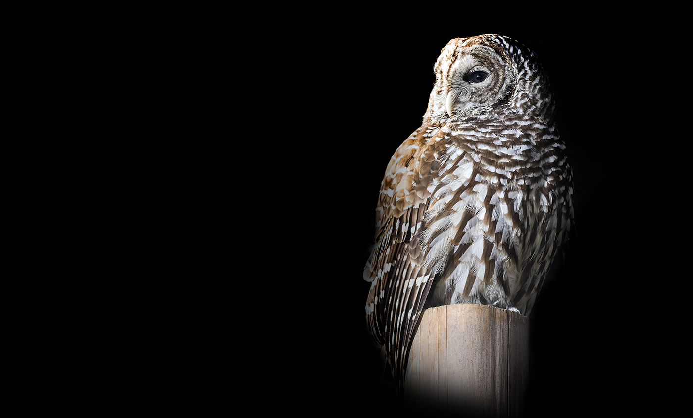 large gray and white owl sitting on a post