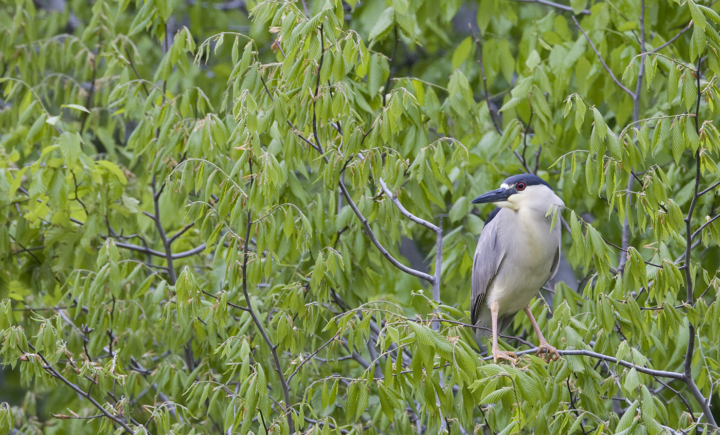 A black-crowned night heron perched in a tree surrounded by green leaves