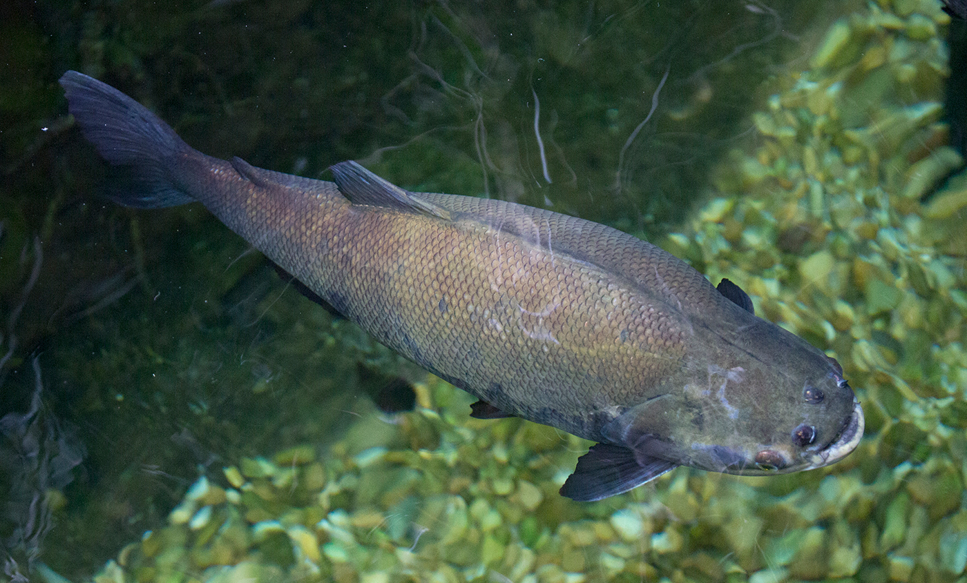 Twig catfish | Smithsonian's National Zoo