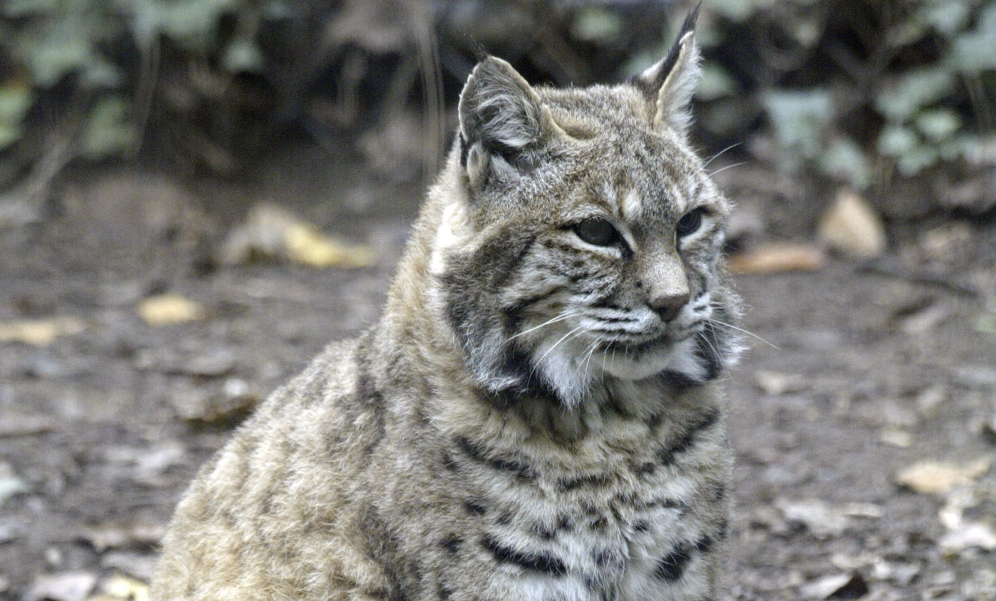 Bobcat Smithsonian S National Zoo