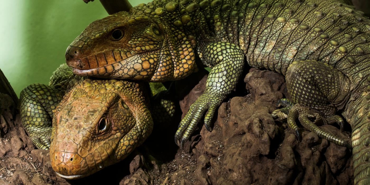 Caiman Lizard Smithsonian S National Zoo