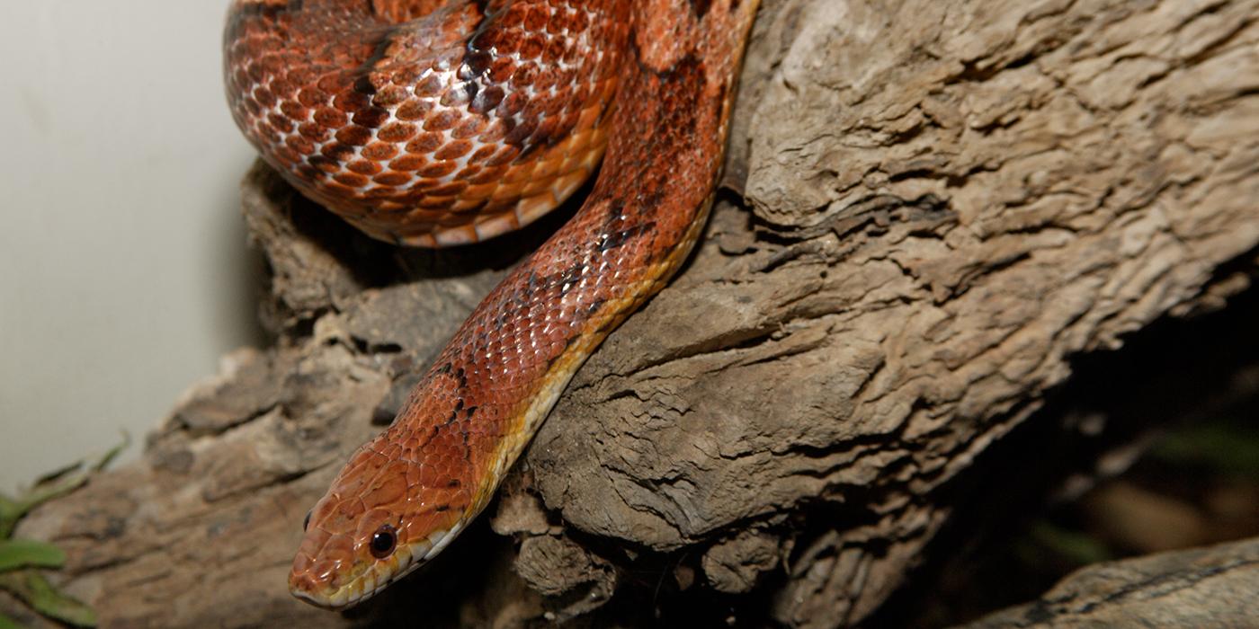 Corn Snake Smithsonian U0026 39 S National Zoo