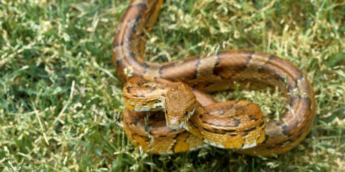 Corn snake | Smithsonian\'s National Zoo