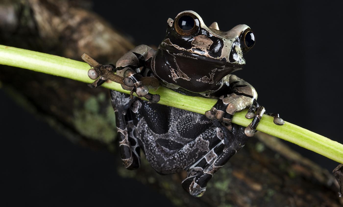 Coronated Tree Frog  Smithsonians National Zoo-5890