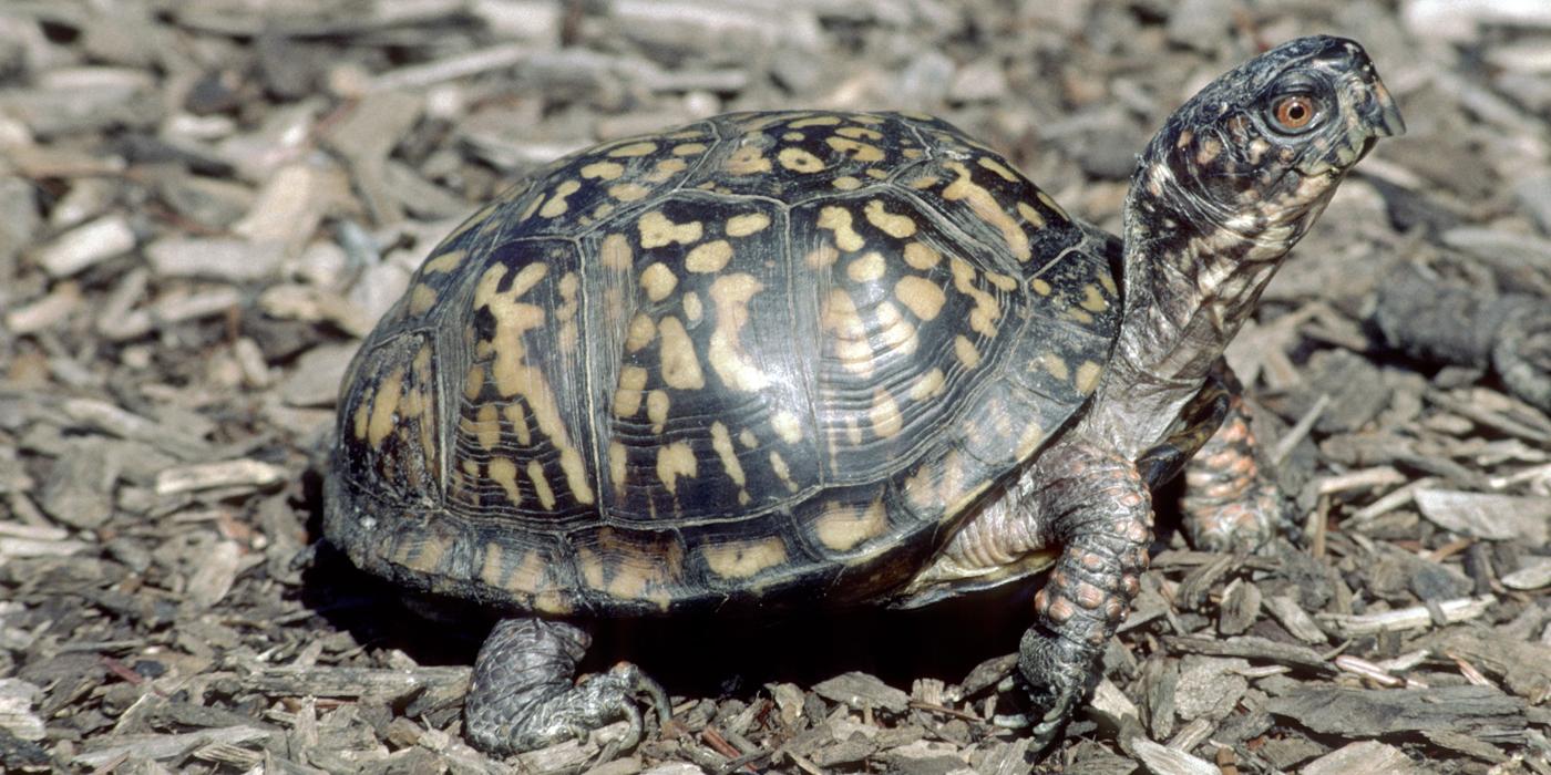 Eastern Box Turtle Smithsonian S National Zoo