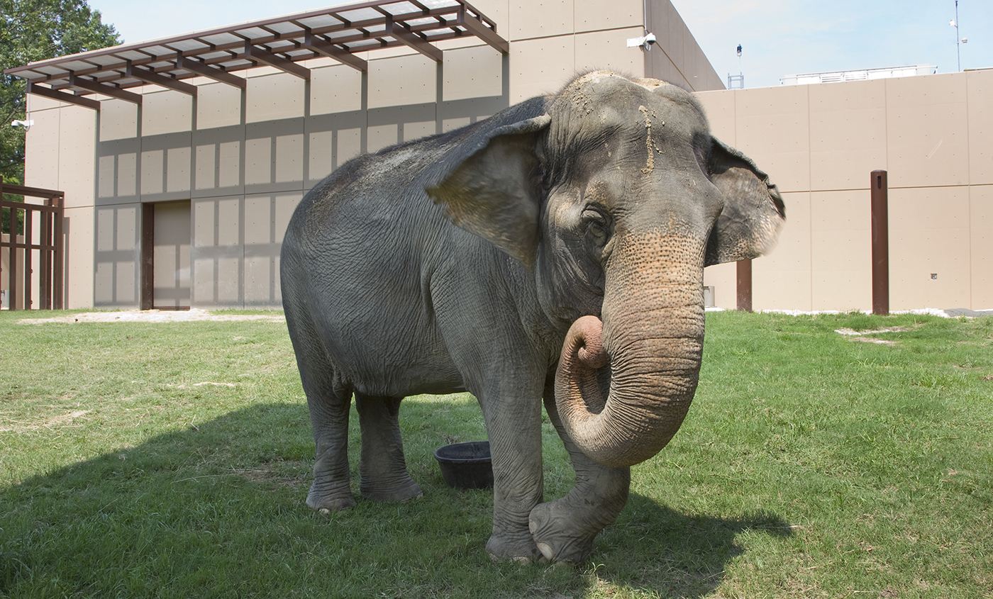 Asian elephant | Smithsonian\'s National Zoo