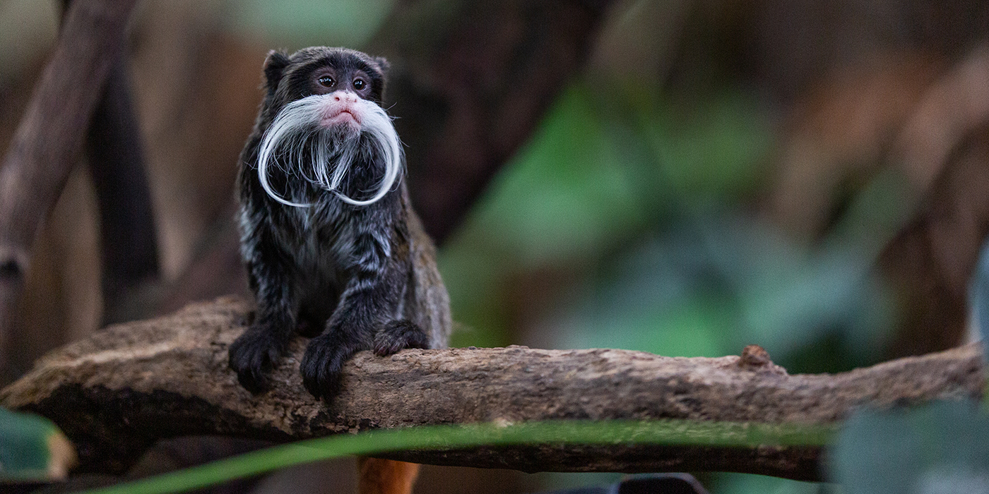 """A small monkey, called an emperor tamarin, with dark fur, little ears and a long, curled, whispy, white """"mustache"""" is perched in a tree"""
