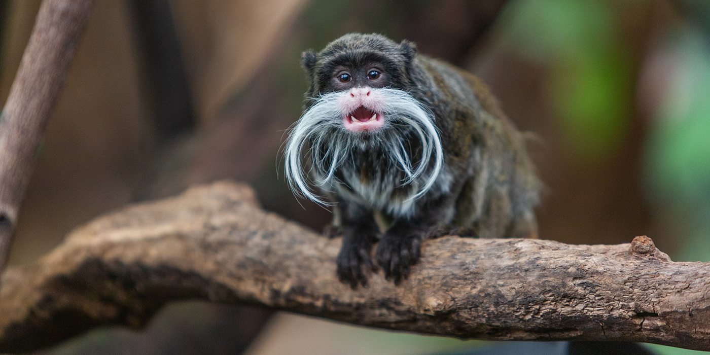 """A small monkey, called an emperor tamarin, with dark fur, little ears and a long, curled, whispy, white """"mustache"""" is perched in a tree with its mouth open in a call."""