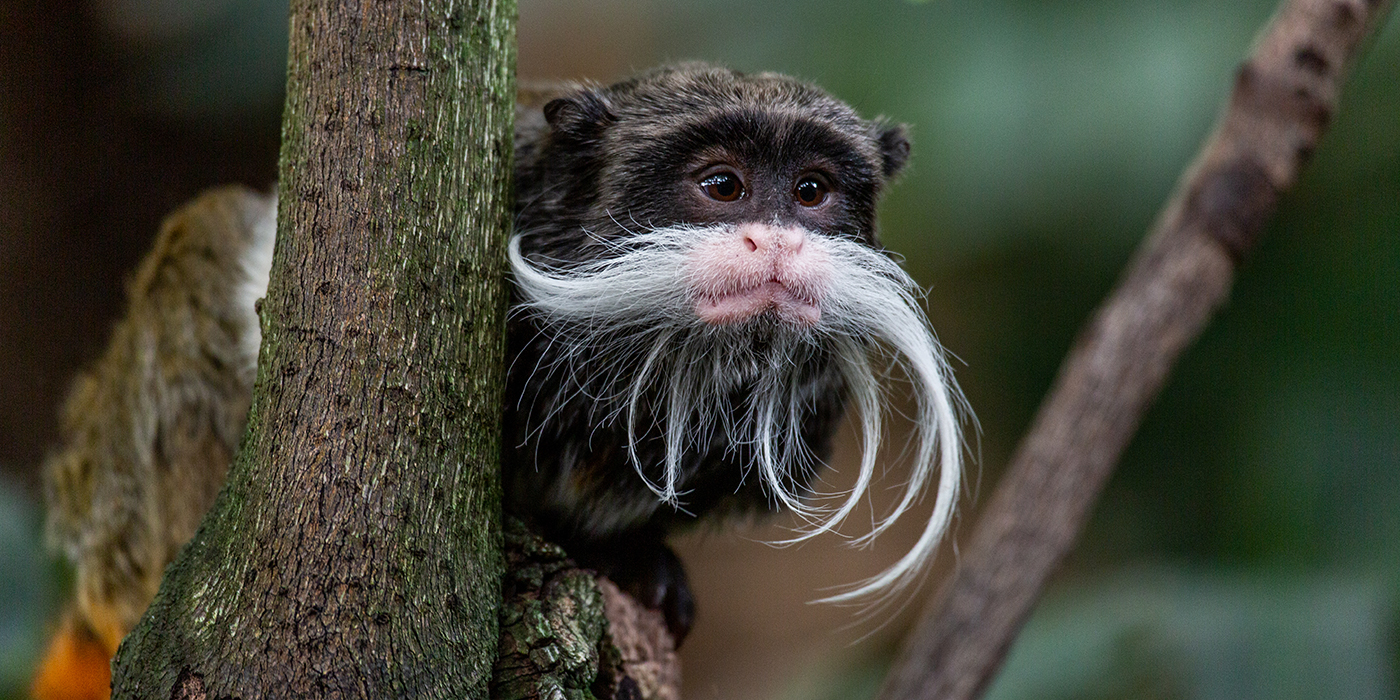 "A small monkey, called an emperor tamarin, with dark fur, little ears and a long, curled, whispy, white ""mustache"" is perched in a tree"