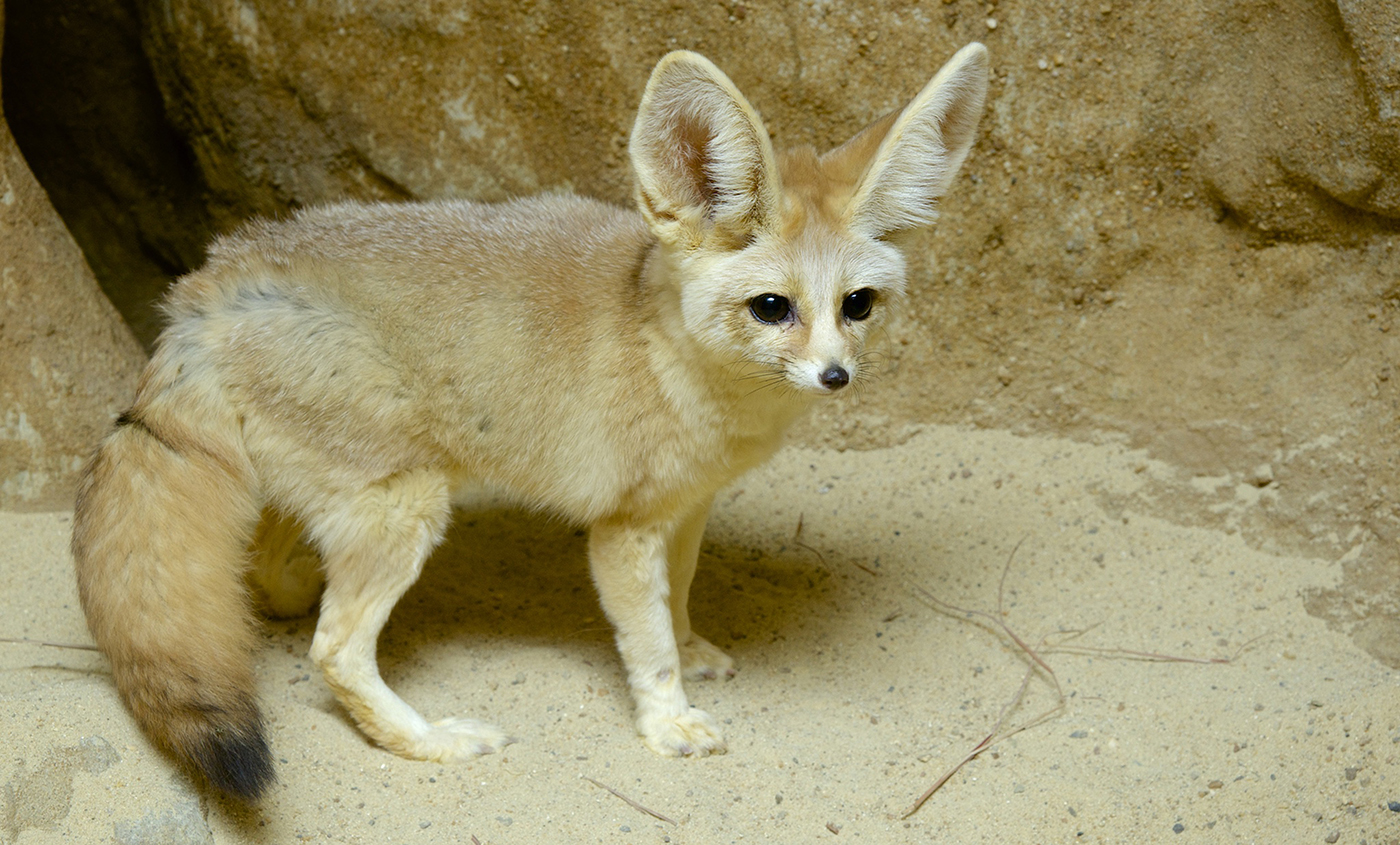 how to take care of a fennec fox