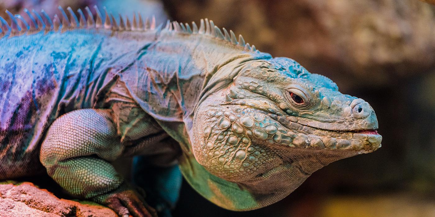 Grand Cayman Blue Iguana Smithsonian S National Zoo Iguana red head blue body images free