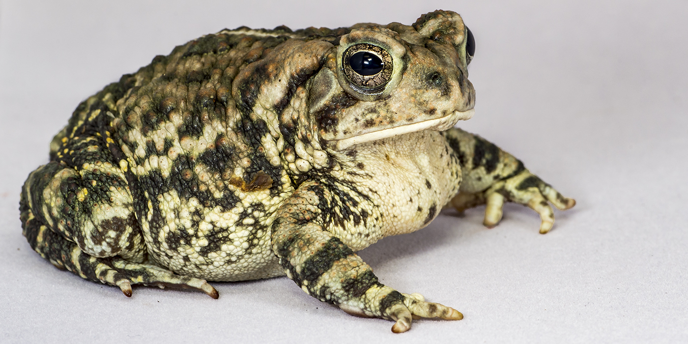 A fat, warty toad with a big mouth and eyes. The skin is pale underneath and mottled cream and black above