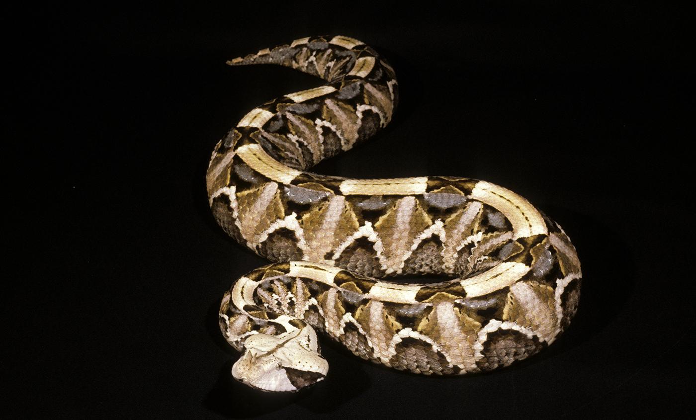 Gaboon viper | Smithsonian's National Zoo