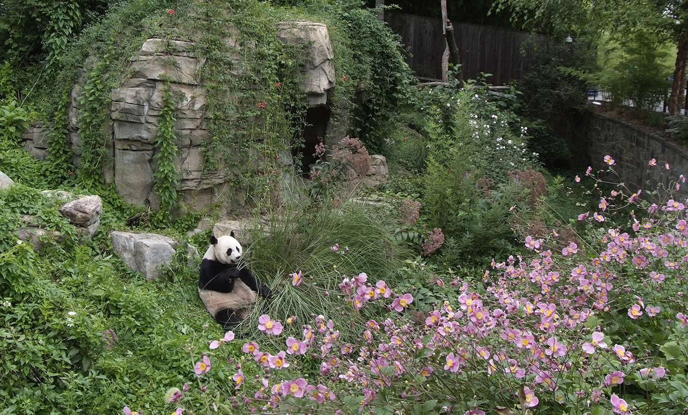 giant panda smithsonian u0027s national zoo