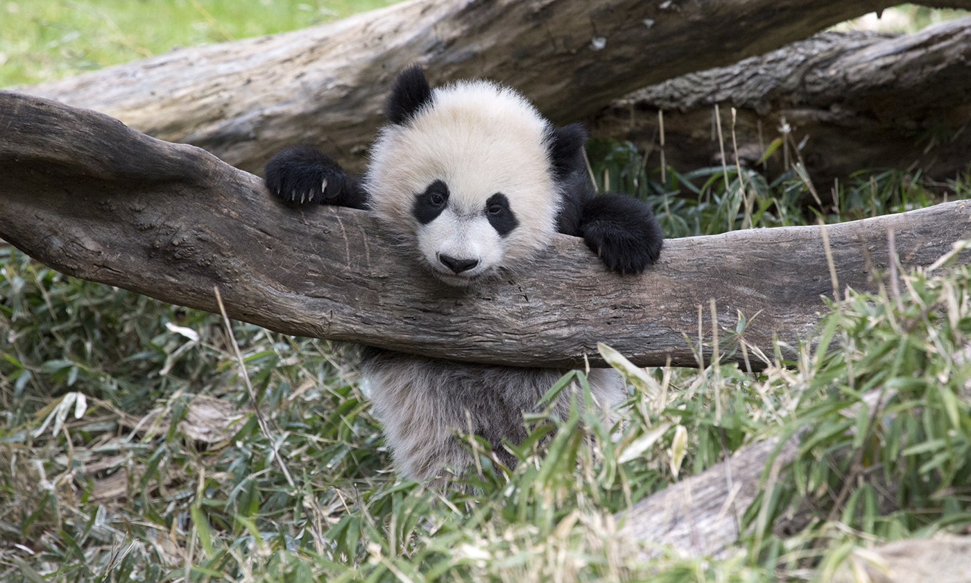 A giant panda leaning on a large branch on the ground