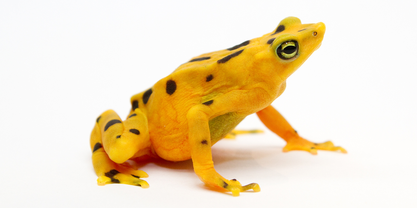 golden frog white background