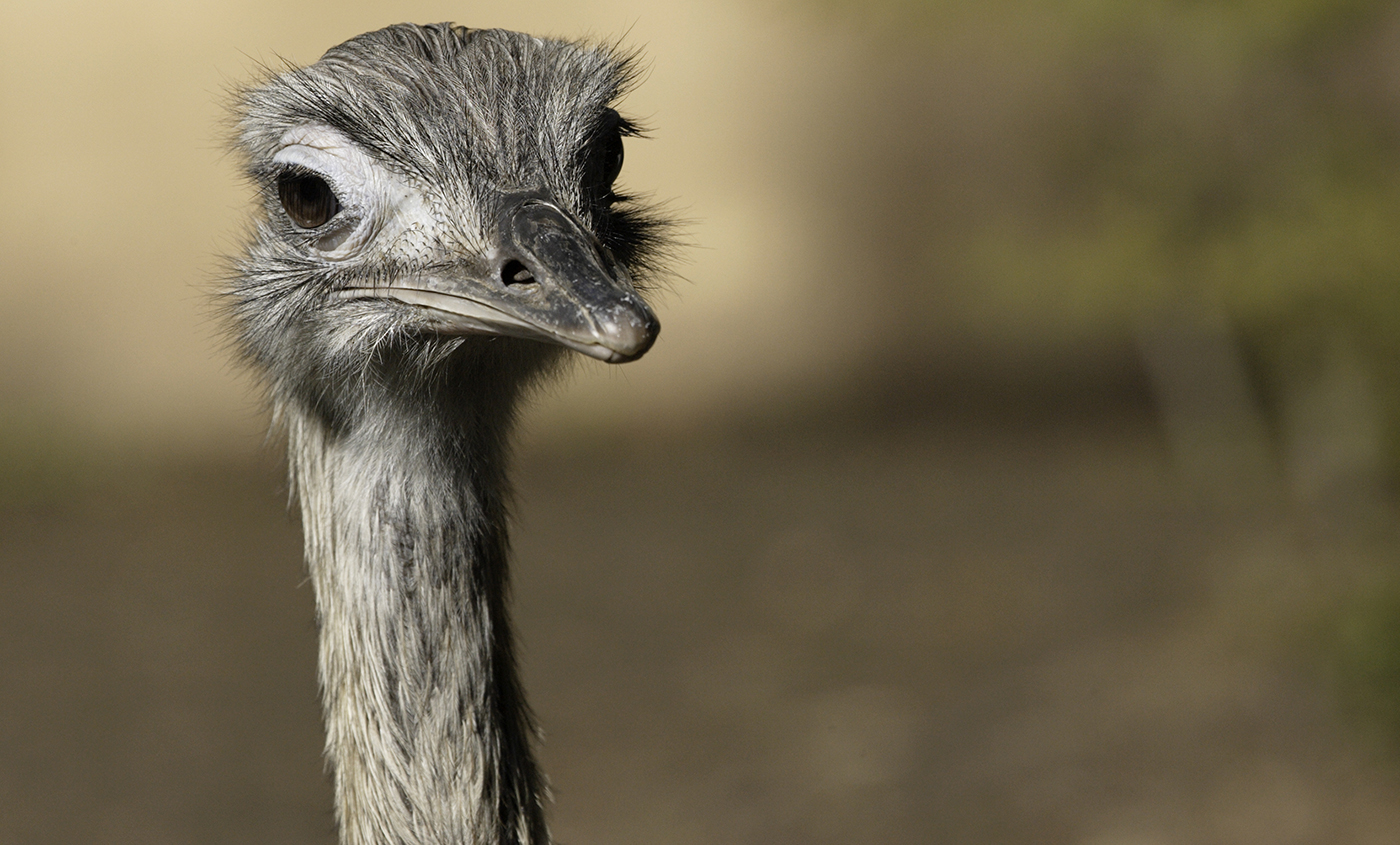 close-up of head of rhea. It has a long neck and long eyelashes.