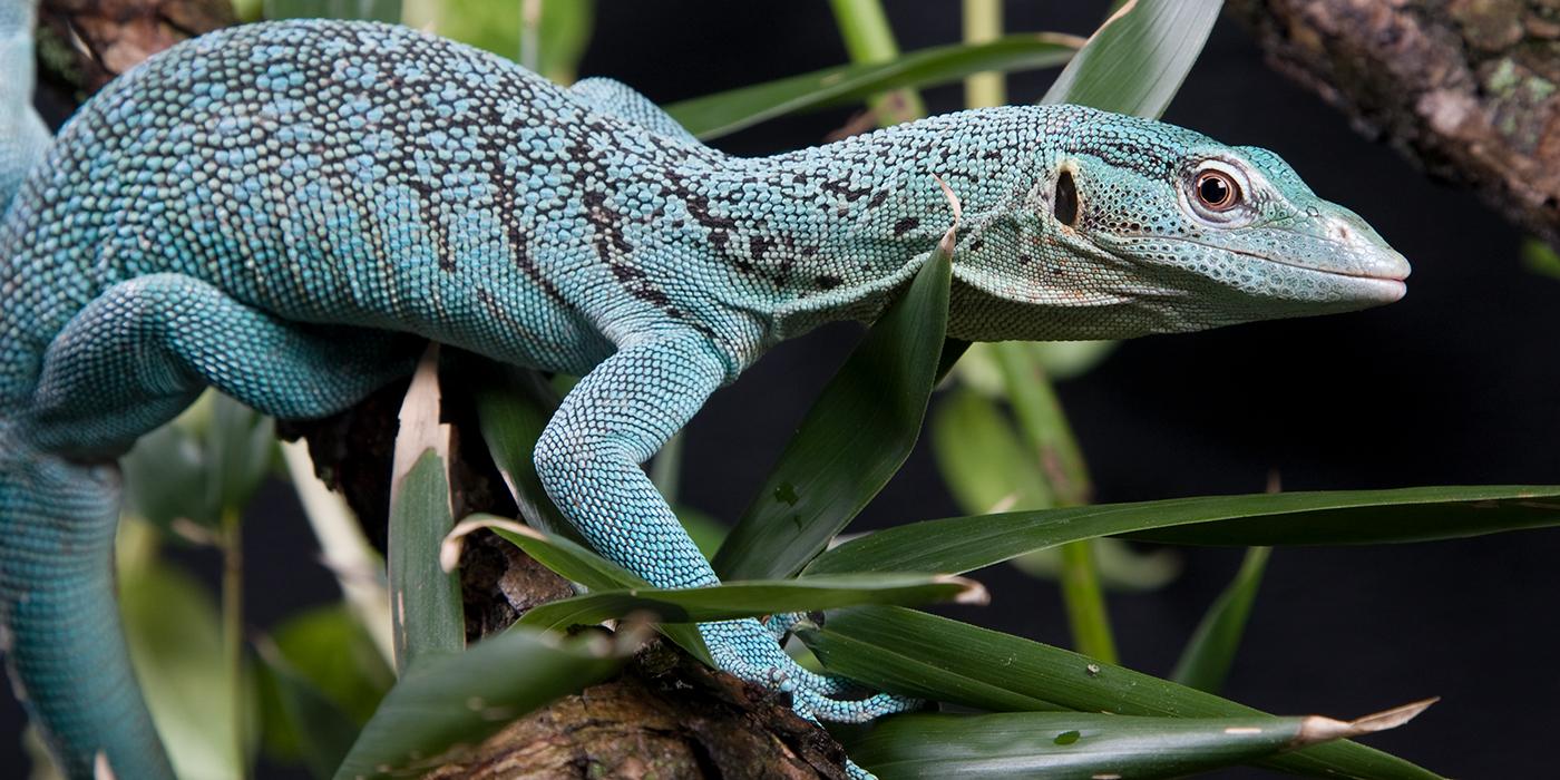 Emerald Tree Monitor Smithsonians National Zoo