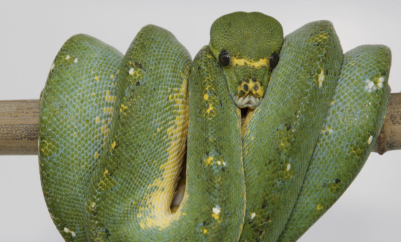 Green tree python | Smithsonian\'s National Zoo