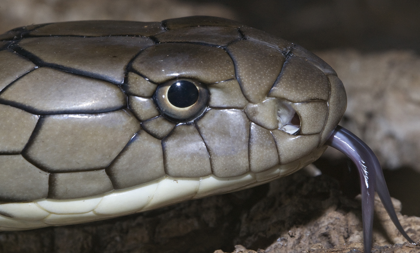 King cobra | Smithsonian's National Zoo