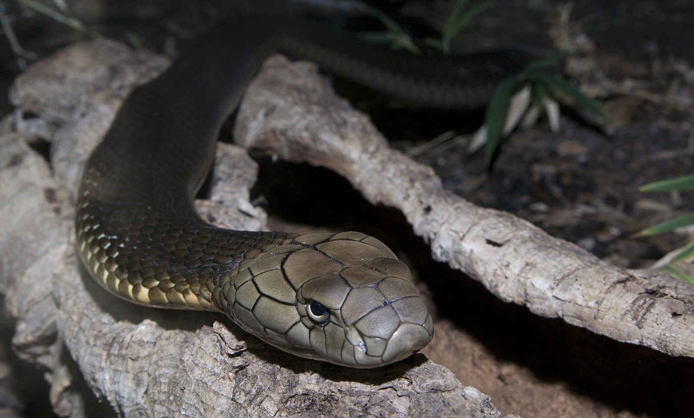 Large olive snake with prominent scales on its head