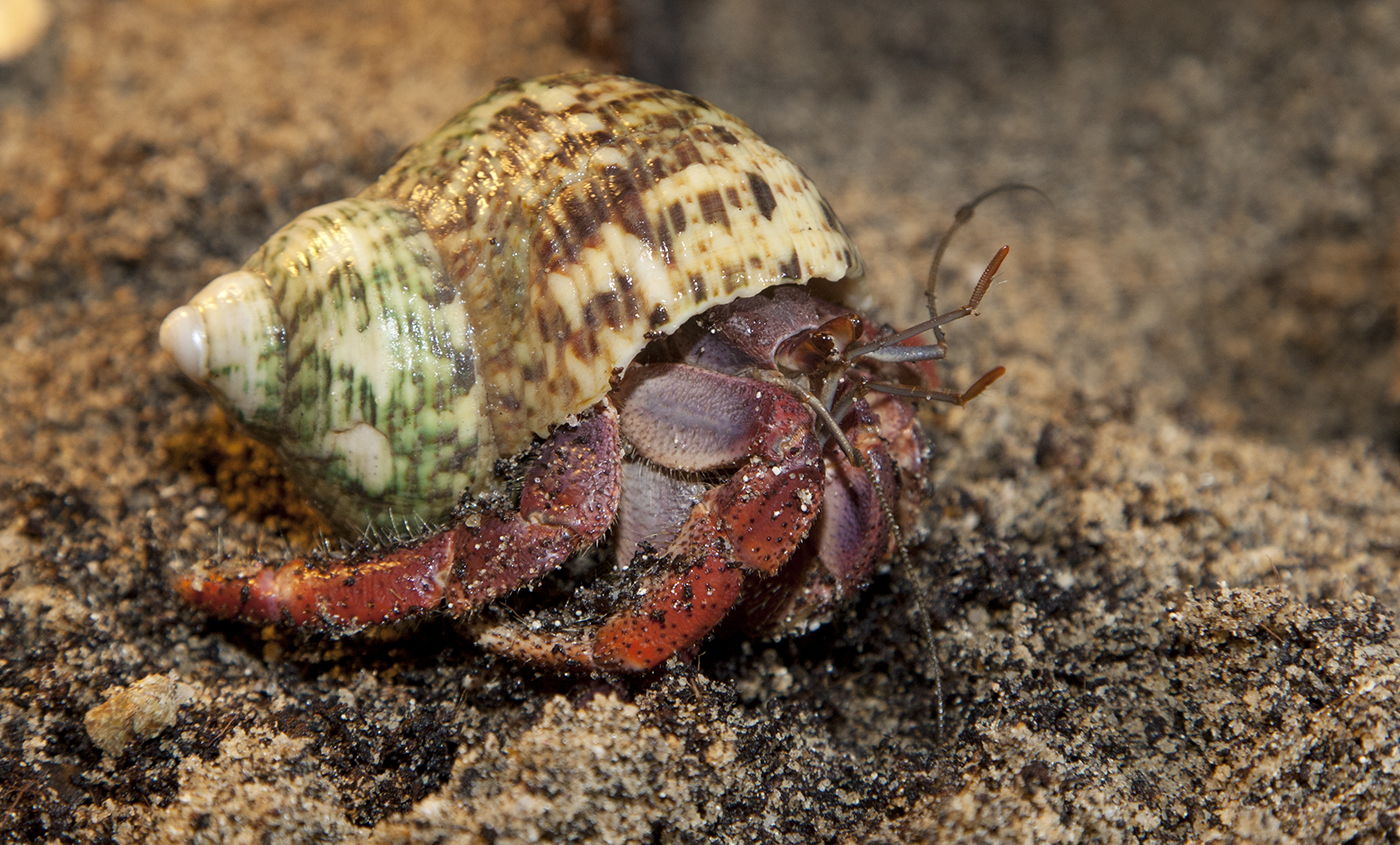 land hermit crab smithsonian u0027s national zoo