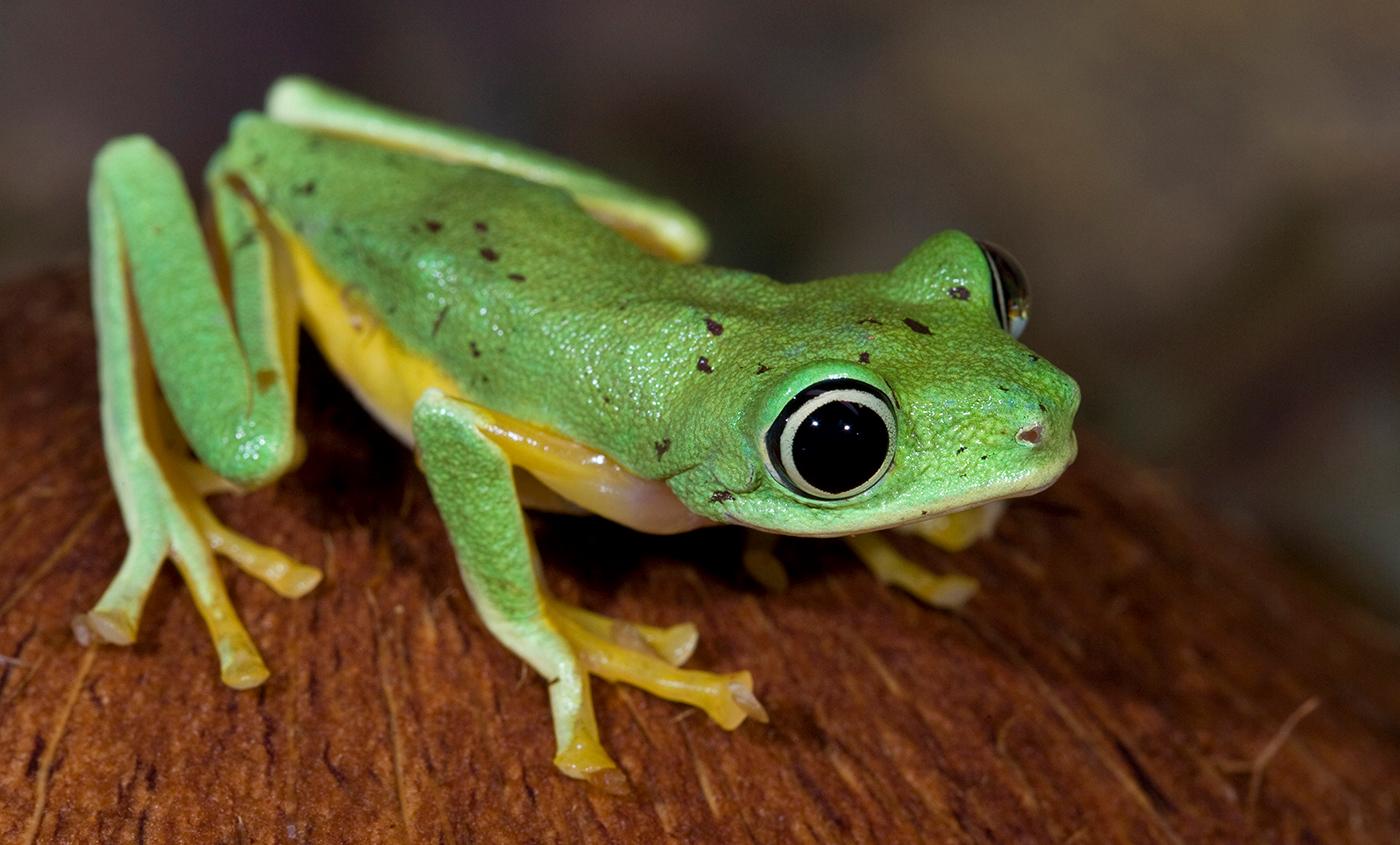 Lemur tree frog | Smithsonian\'s National Zoo