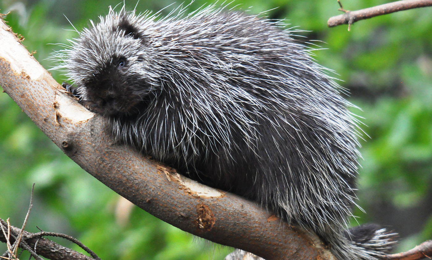 North American porcupine | Smithsonian's National Zoo  North American ...