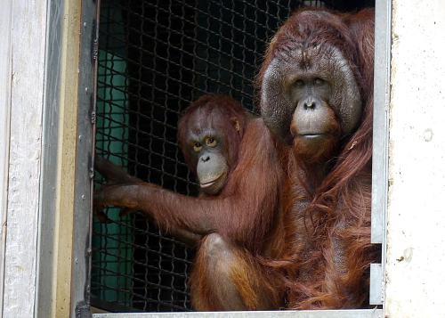 Orangutan Update | Smithsonian's National Zoo