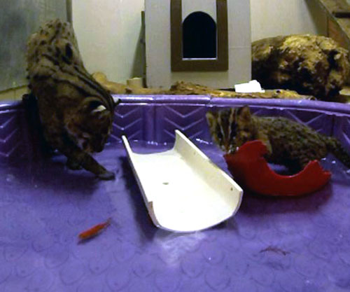 fishing cat mom and kitten in paddle pool to practice fishing