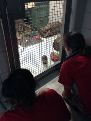 keeper looks through cage door at fishing cat kitten