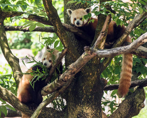 red pandas in tree