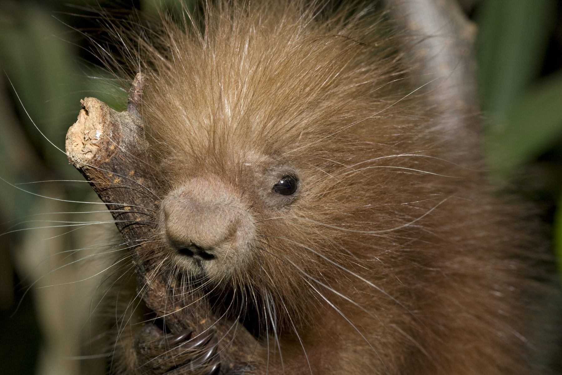 baby porcupine clings to branch