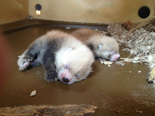 baby red panda cubs sleep