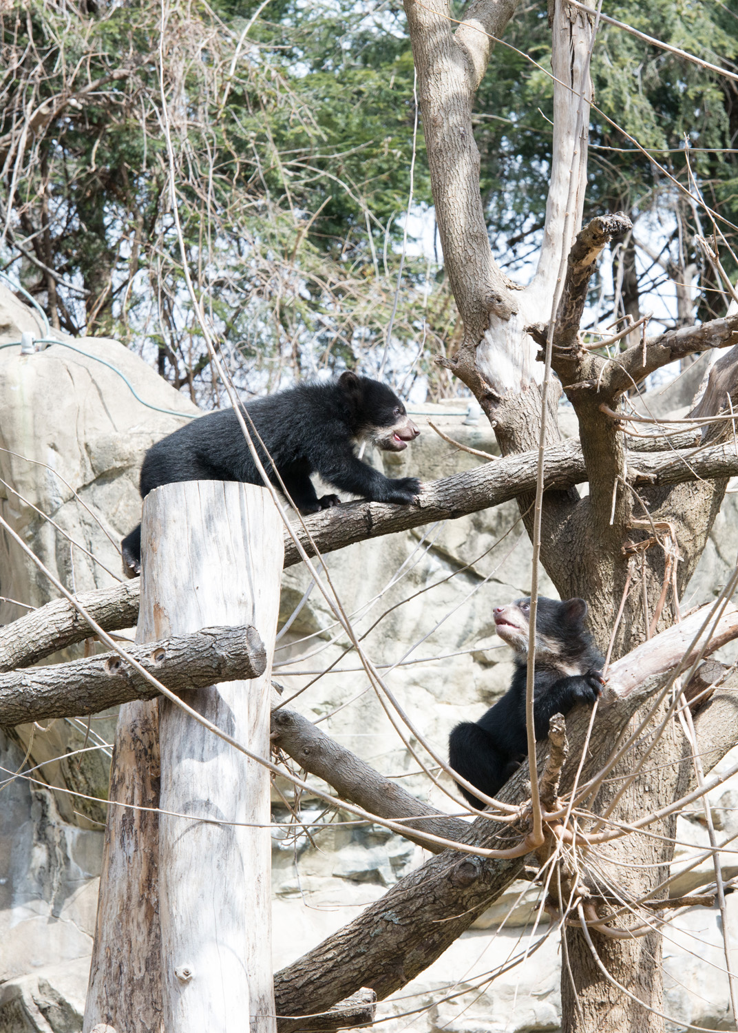 bear cub walks across horizontal branch to other tree in its enclosure