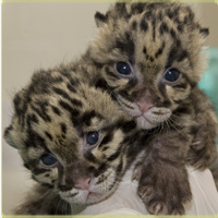 clouded leopard kittens side by side
