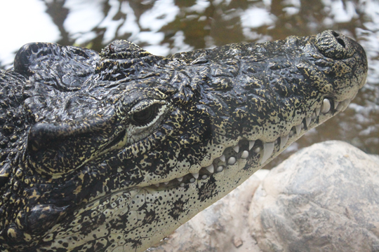 The Croc and Gator Blog May 01, 2015 | Smithsonian's National Zoo