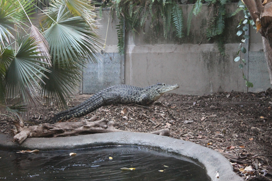 crocodile, Rose in yard