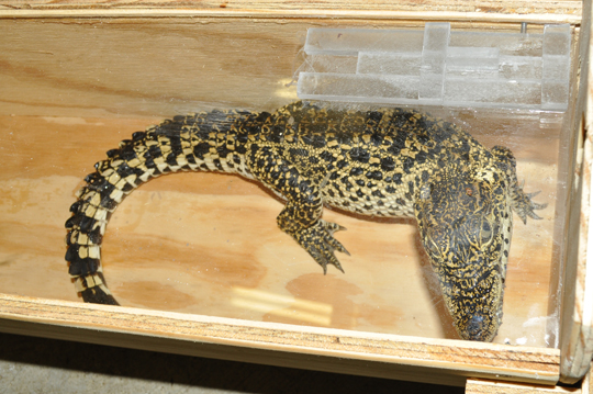 Crocodile inside box