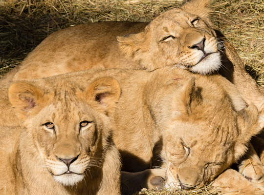 three adolescent lion cubs snuggling