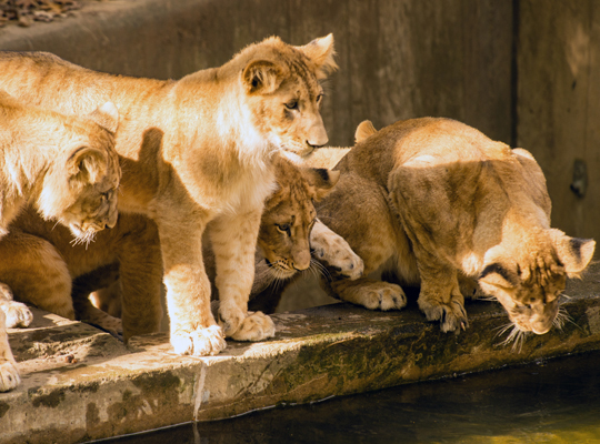 lions cubs look curiously at water