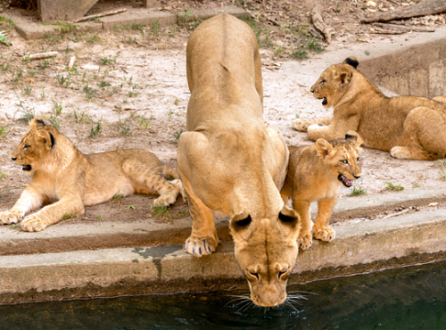 lion drinks from water feature in exhibit while cubs look on