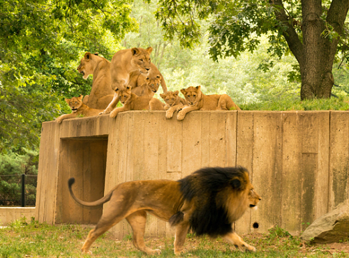 lions on top of cement structure as male Luke walks by below