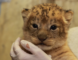 lion cub held by keeper